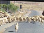 Schafe haben Vorfahrt