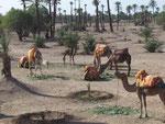 Kamele warten auf Kundschaft