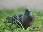 Eine Dresdner Taube! Auch sehr hübsch:)