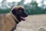 """""""Ares"""", der erste portugiesische Berghundwelpe, (auch """"Estrela"""" genannt) der mir vor die Linse kam :)"""