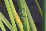 Große Pechlibelle, Ischnura elegans, Paarungsrad