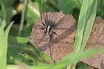 Wolfspinne, männl., Pardosa lugubris-Gruppe