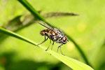 Echte Fliege, männl., Helina sp.