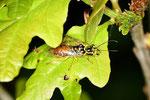 Gespinst-Blattwespe, Pamphilidae sp.