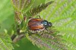 Gartenlaubkäfer, Phyllopertha horticola