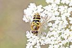 Gartenschwebfliege, weibl., Syrphus sp.