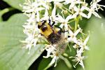 Hummel-Waldschwebfliege, Voluzella bombylans