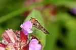 Graue Breitfuß -Schwebfliege, Platycheirus albimanus