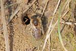 Frühlings-Seidenbiene, Colletes cunicularius
