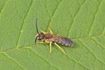 Gelbbinden-Furchenbiene, männl., Halictus scabiosae