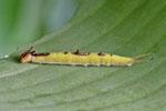 Raupe vom Bananenfalter, Caligo eurilochus