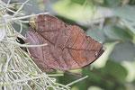Indischer Blattschmetterling, Kallima inachus
