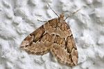 Grauer Wachholder - Blattspanner, Thera juniperata