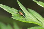 Grüner Sauerampfer-Käfer, Gastrophysa viridula