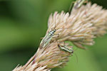 Zweifleck-Weichwanze, Stenotus binotatus
