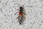 Kurzflügler, Platydracus stercorarius