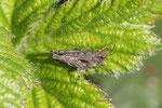 Säbeldornschrecke, Tetrix undulata