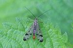 Gemeine Skorpionsfliege, männl., Panorpa communis