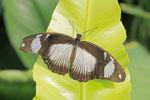 Schein-Schwalbenschwanz, weibl., Papilio dardanus
