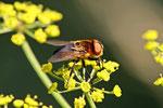 Raupenfliege, Phasia hemiptera