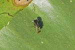 Langbeinfliege, Poecilobothrus nobilitatus