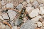 Waldschwebfliege, männl., Dasysyrphus cf. venustus