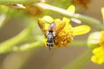 Rotgefleckte Raupenfliege, Eriothrix rufomaculata