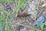 Holzschnake, Tanyptera atrata