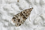 Silbriger Mauerzünsler, Eudonia mercurella