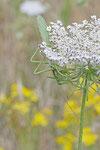 Grünes Heupferd, weibl., Tettigonia viridissima