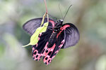 Scharlachroter Schwabenschwanz, Papilio rumanzovia