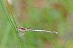 Blaue Federlibelle, männl., Platycnemis pennipes