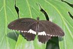 Kleiner Mormone, männl., Papilio polytes