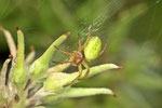 Kürbisspinne, Araniella sp.