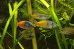 Boesemans Regenbogenfisch, Melanotaenia boesemani