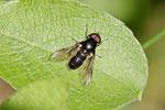 Gem. Erzschwebfliege, männl., Cheilosia variabilis