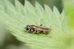 Gemeine Langbauchschwebfliege, Xylota segnis