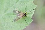 Schnepfenfliege, Rhagionidae sp.
