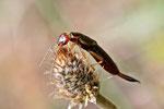 Gemeiner Ohrwurm, Forficula auricularia
