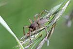 Sackspinne, Clubiona sp. / Drassodes sp.