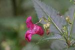 Drüsiges Springkraut, Impatiens glandulifera