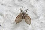 Weißpunktierte Schmetterlingsmücke, Clogmia albipunctatus
