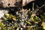 Waldwolfspinne, Xerolycosa nemoralis