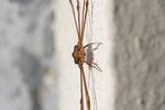Schneider, männl., Dicranopalpus ramosus, Zeichnungsvariante Zorro