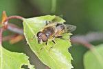 Gemeine Keilfleckschwebfliege, Eristalis pertinax