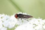 Gemeine Smaragdschwebfliege, Chrysogaster solstitialis