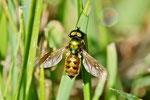 Waffenfliege, männl., Chloromyia formosa