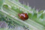 Distelfloh-Käfer, Sphaeroderma cf. testaceum