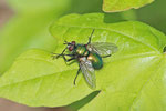 Blaugrüne Raupenfliege, Gymnocheta viridis