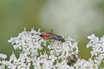 Schlupfwespe, Cryptinae, Arithranis sp.